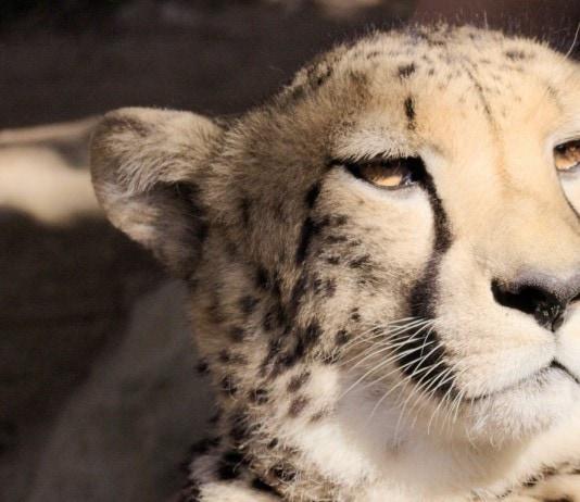 Cheetah Mia, Cango Wildlife Ranch