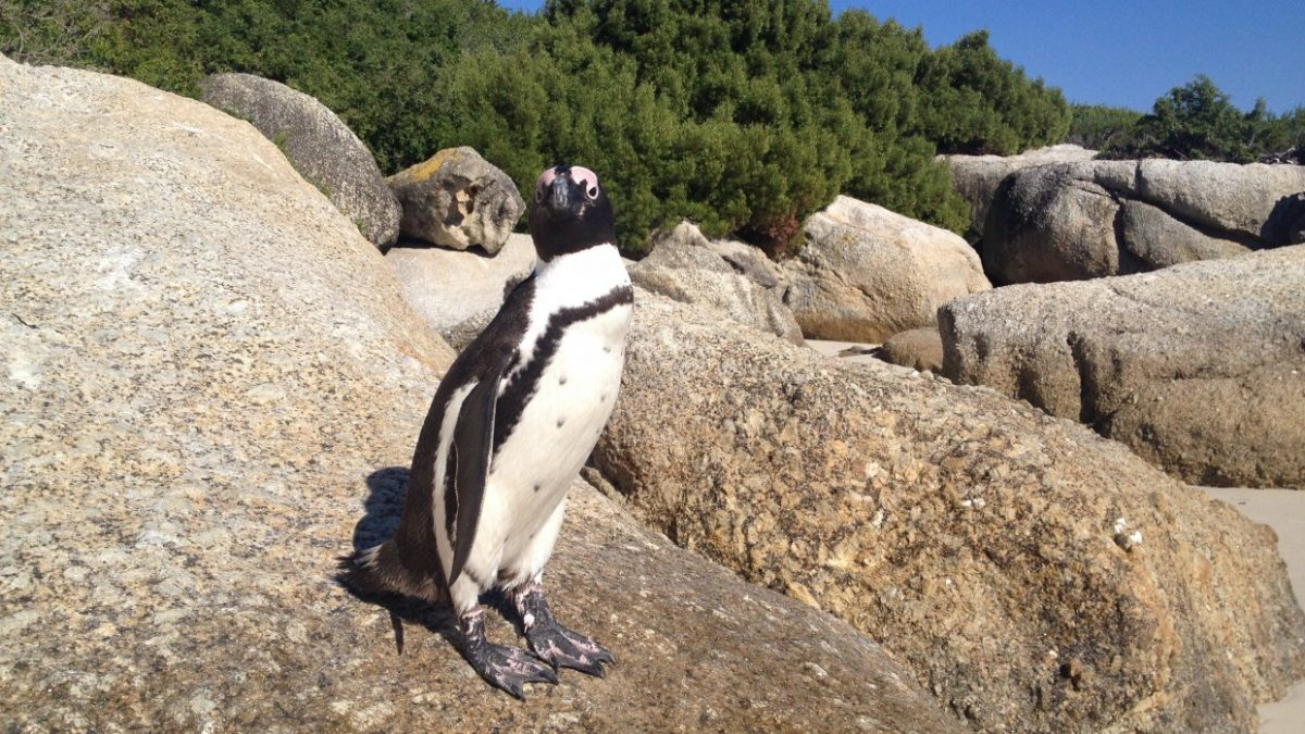 Up Close with Penguins at Boulders Beach