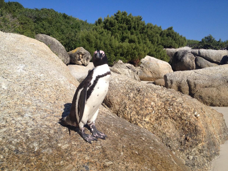 Up Close with Penguins at Boulders Beach | Non Stop Destination