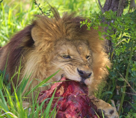 Sinbad eating at the Born Free center
