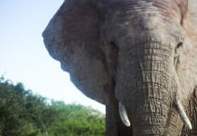 Elephant portrait at Addo