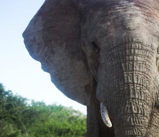 Elephant portrait at Addo