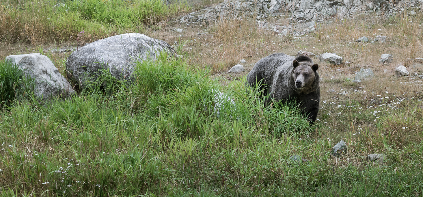 Grizzly Bear Grouse Mountain