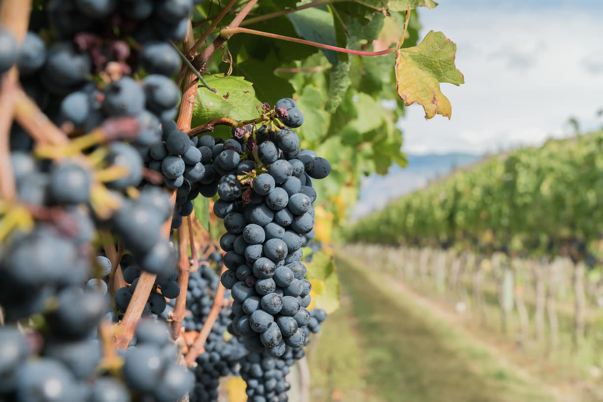 Stoneboat vineyards red grapes
