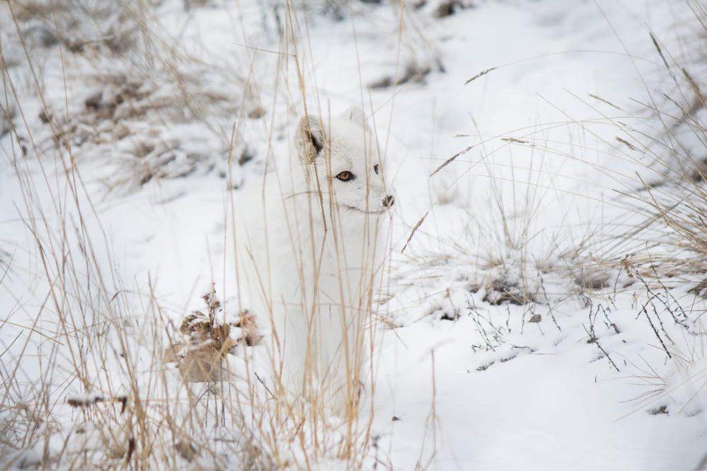 Arctic Fox deciding what to do at the Yukon Wildllife Preserve