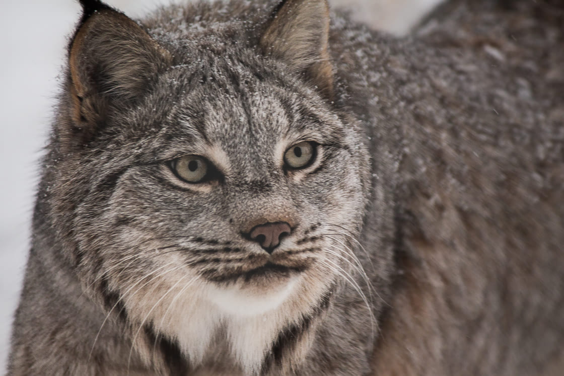 Close up of lynx at the Yukon Wildllife Preserve