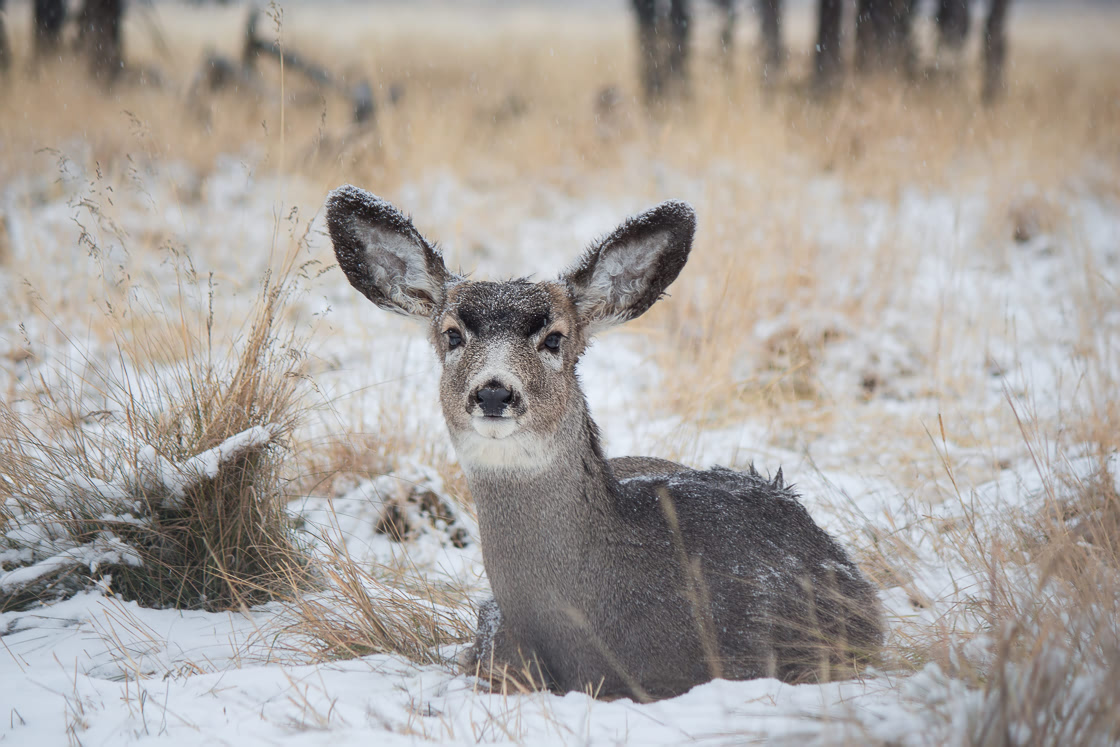 Curious Mule Deer at the Yukon Wildllife Preserve