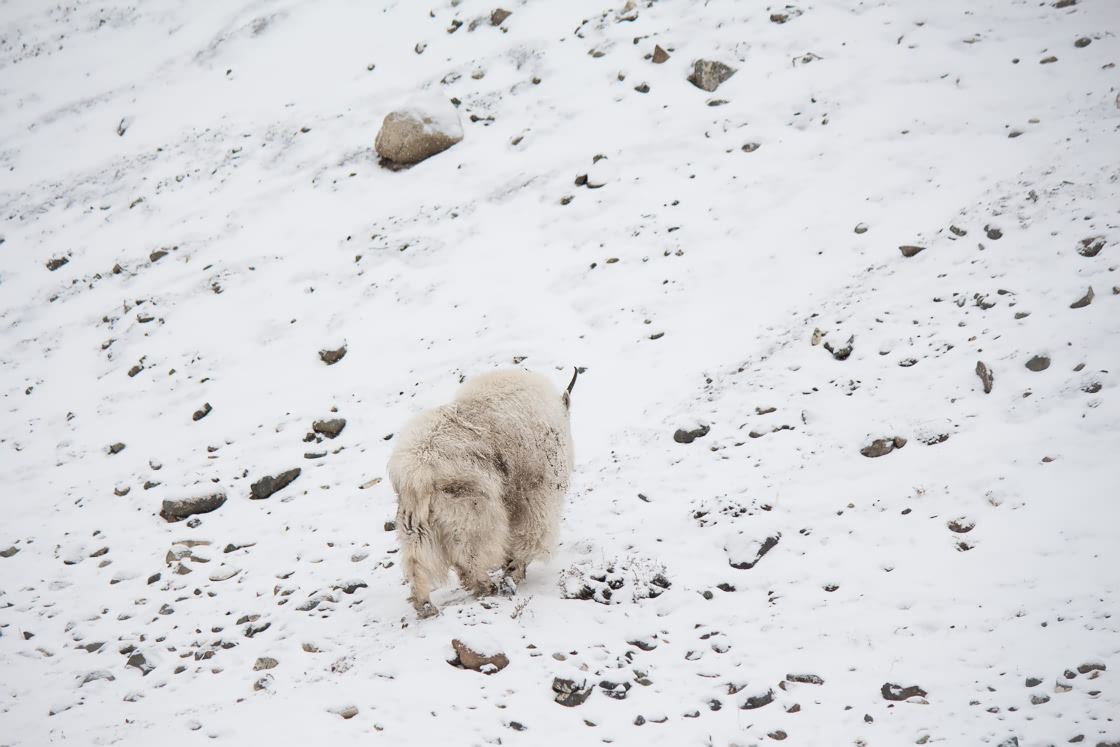 Lonely mountain goat walking up the snow covered hill