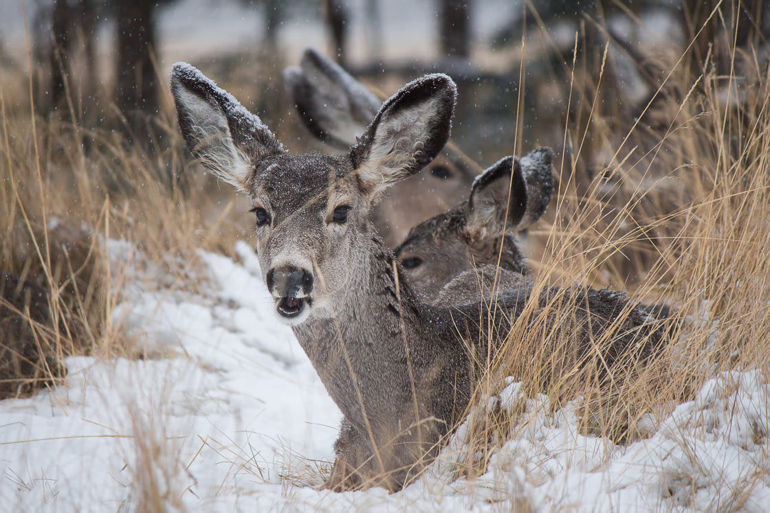 Mule deer in the snow at the Yukon Wildlife Preserve