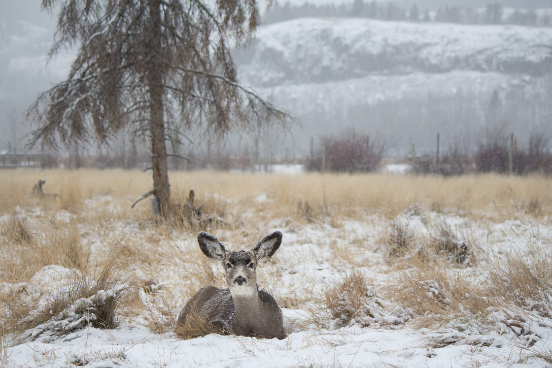 Mule Deer relaxing in the snow
