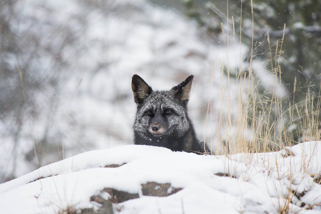 Silver fox at the Yukon Wildllife Preserve