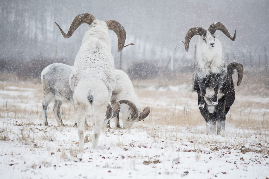 Thinhorn sheep fighting