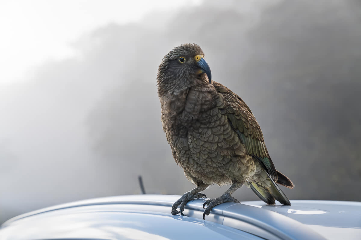 Kea on the road to Milford Sound