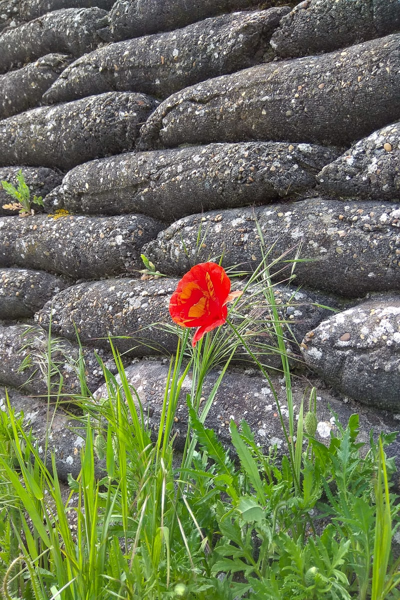 Trench of death poppy