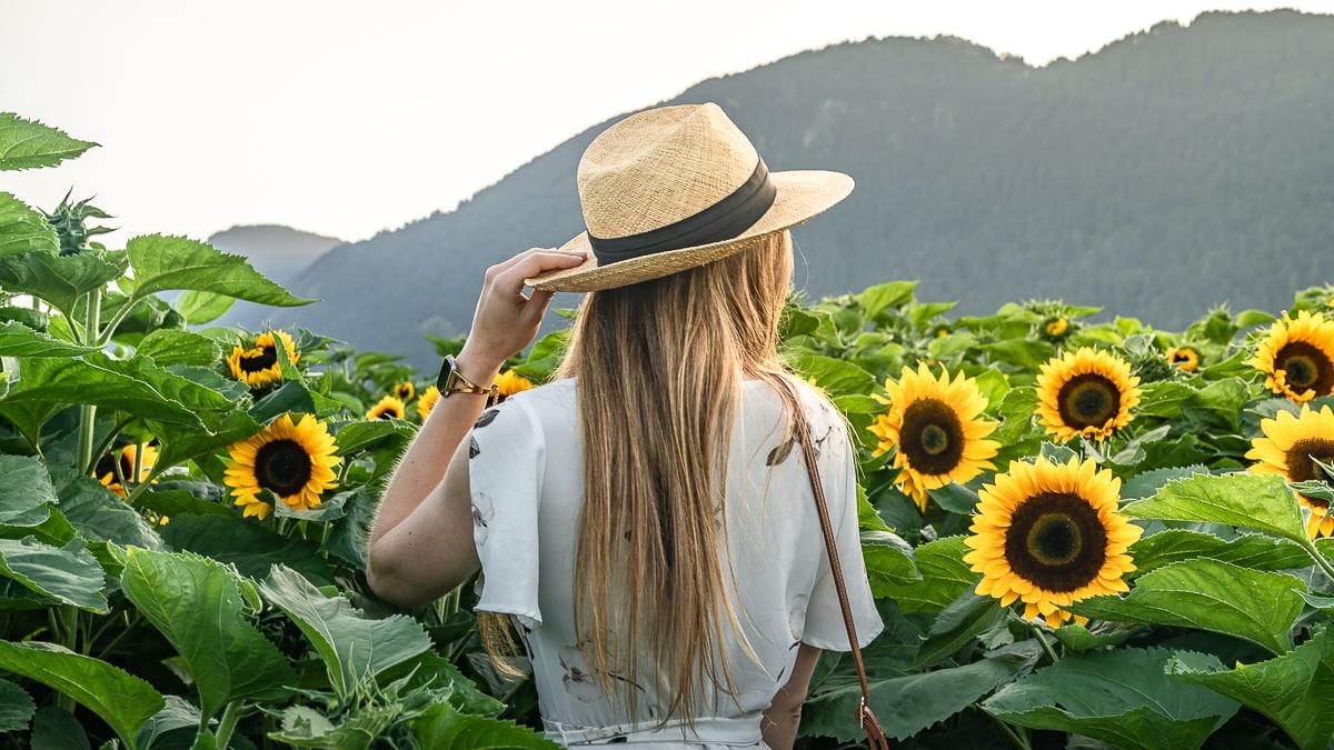 Sunflower sunset Chilliwack Canada