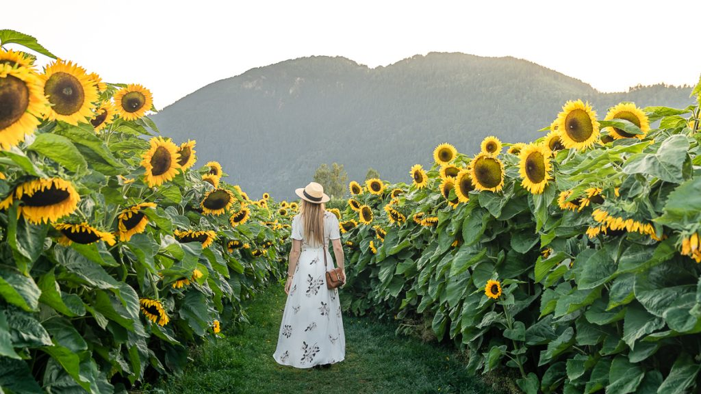 Canada Sunflower Festical