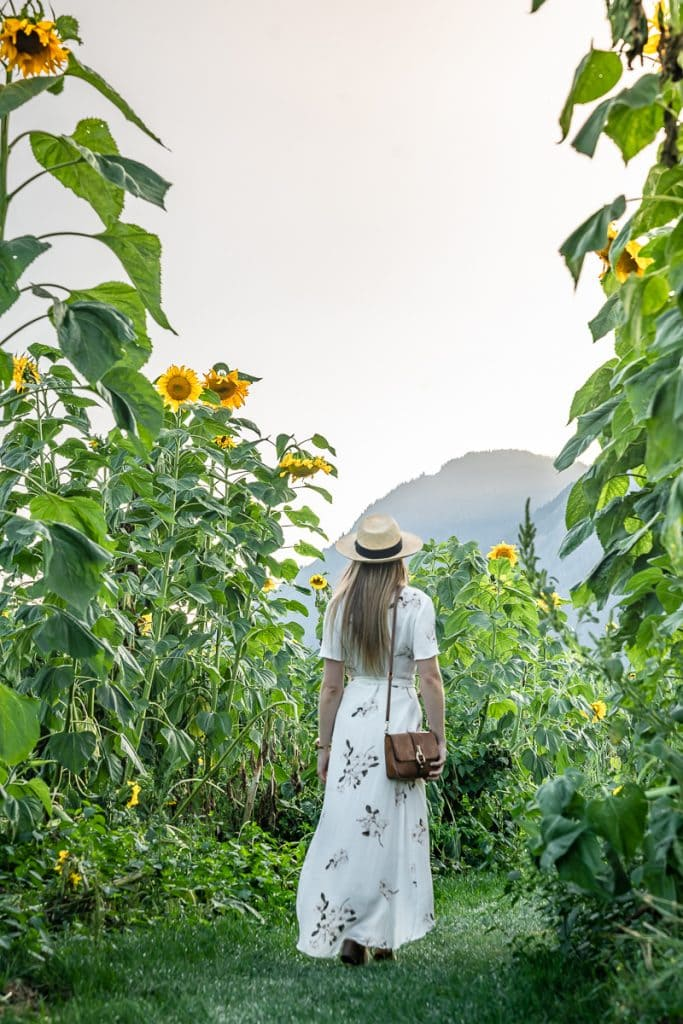 Giant sunflowers North America