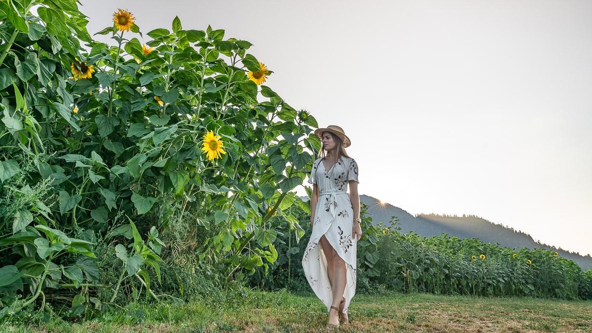 Mammoth Sunflowers Chilliwack