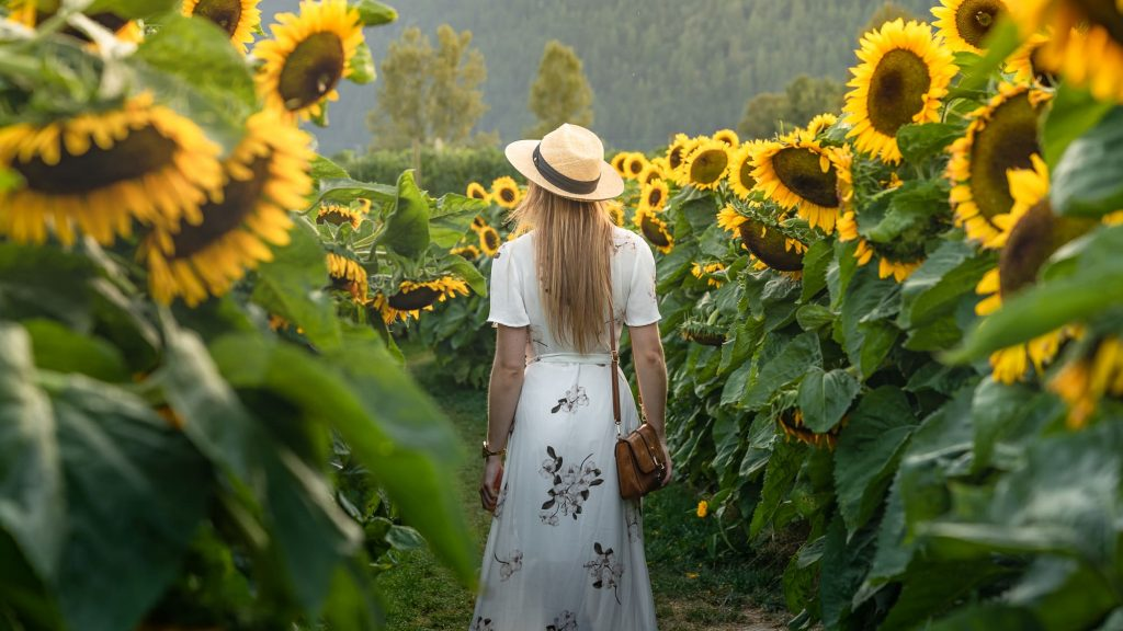 Sunflower Festival Chilliwack Canada