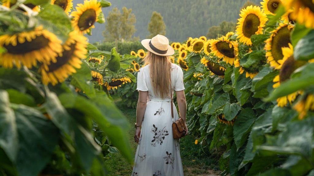Walk amongst giants at the Sunflower Festival in Chilliwack