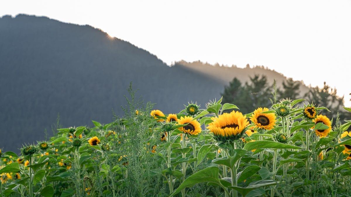Sunflower Field Chilliwack Canada