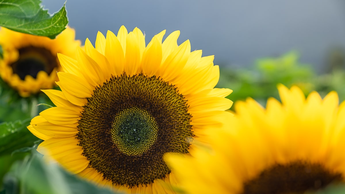 Sunflower Picking Chilliwack