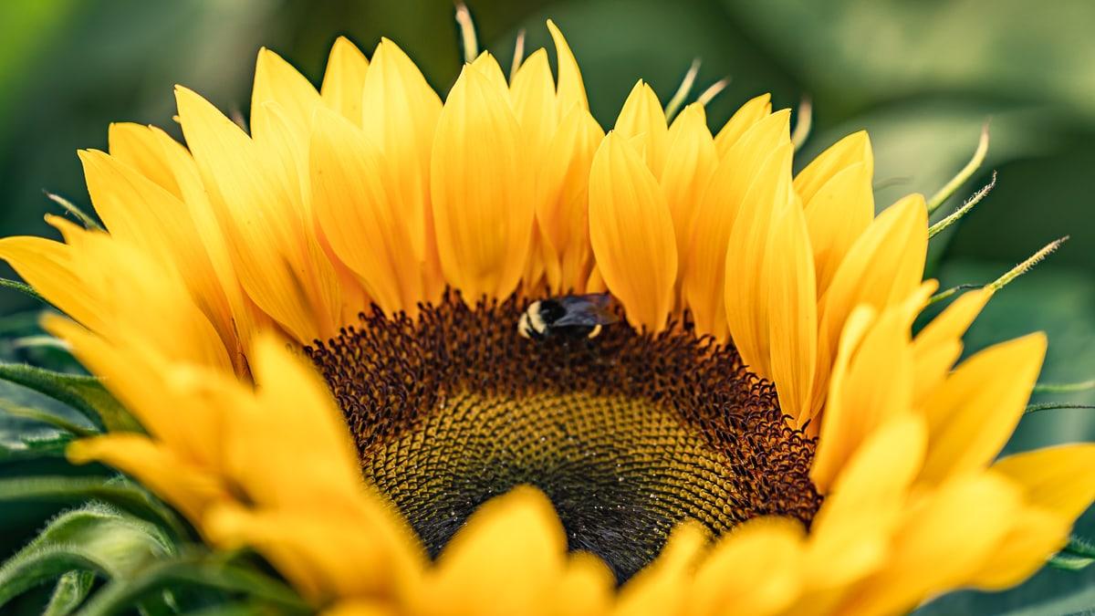Sunflower plant in Chilliwack