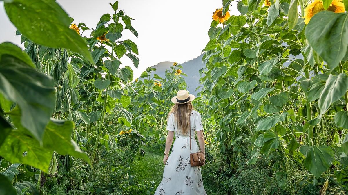 walk among giant sunflowers
