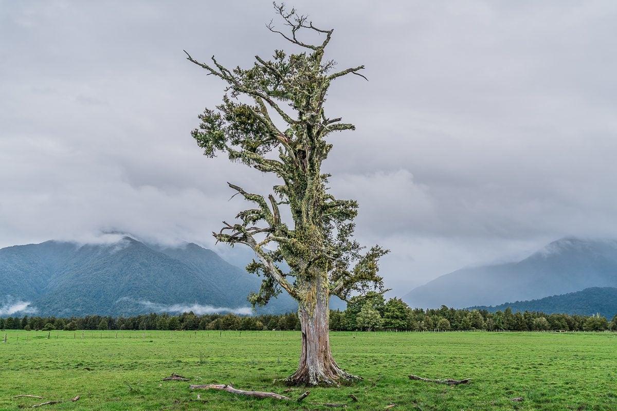Fox Glacier tree