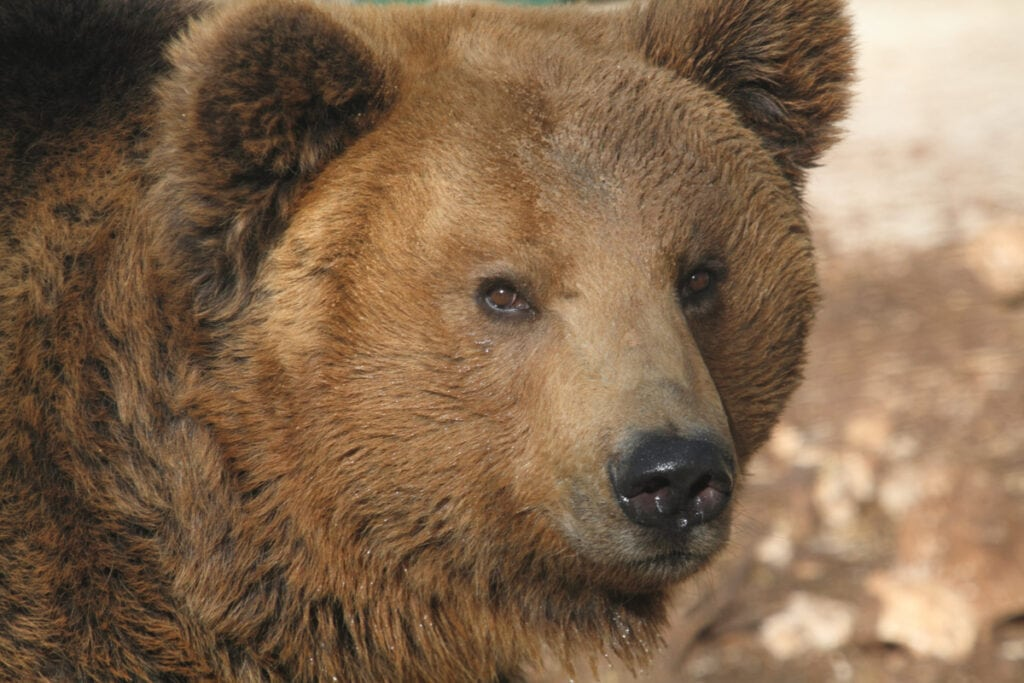 Marsican brown bear - Bears