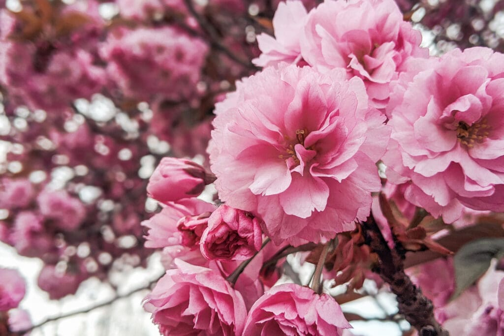 Best Places To See Cherry Blossoms in Vancouver