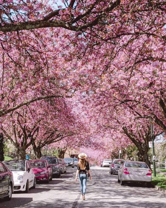 Best Places To See Cherry Blossoms In Vancouver Non Stop Destination