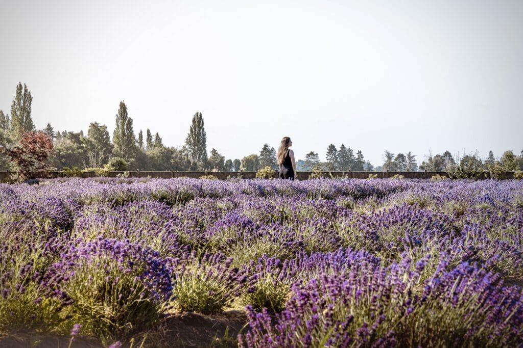 lavender farm BC