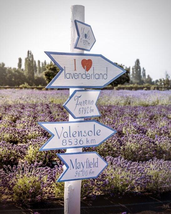 lavender farm lavenderland