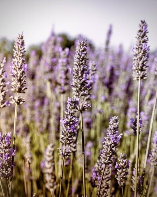 lavender farm vancouver