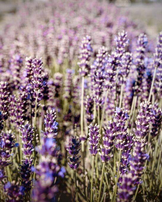 lavender fields vancouver